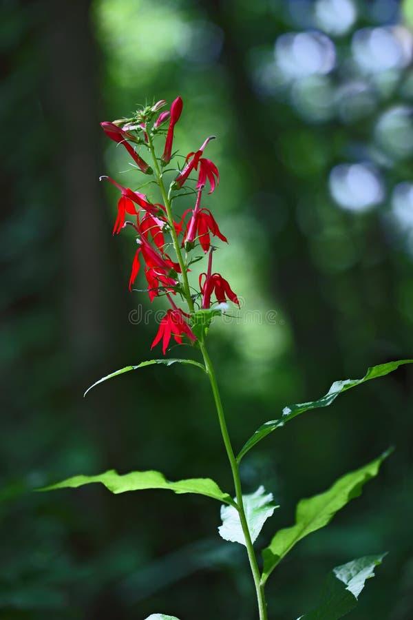 Cardinal Flower royalty free stock photo