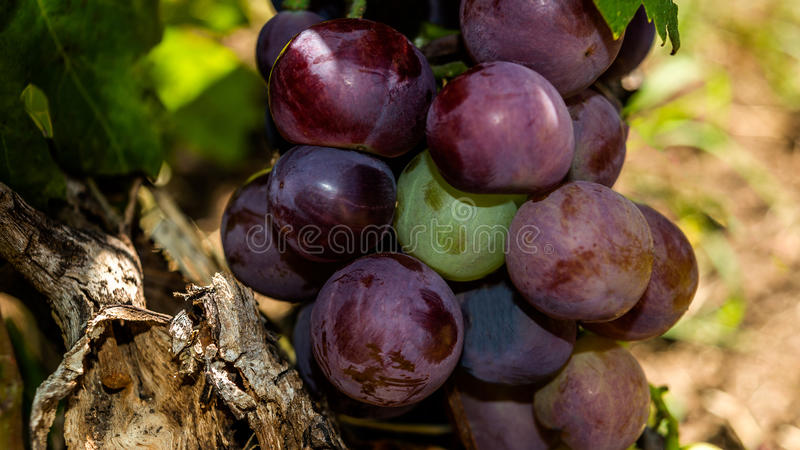 Cardinal grape royalty free stock photo
