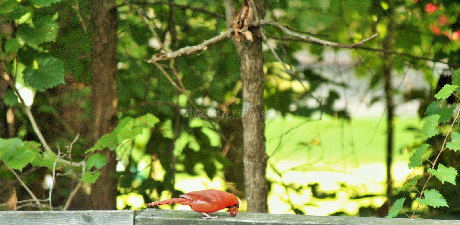 Cardinal having snack with. Cardinal having snack on fence royalty free stock photos