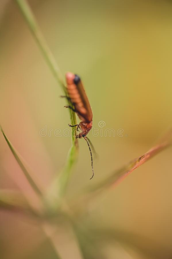 Cardinal insect alone red and black resting on a blade of grass in summer royalty free stock photo