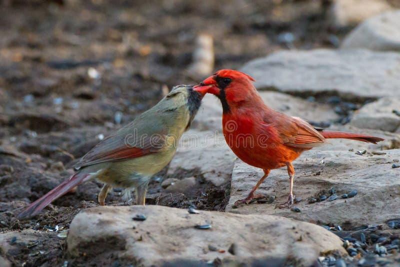 Cardinal Kiss stock image