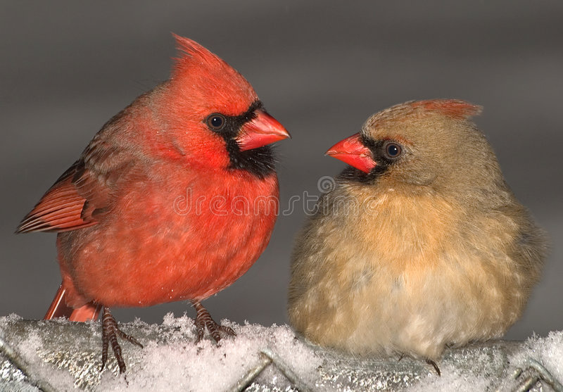 Cardinal love. A male and female cardinal are making eyes at each other