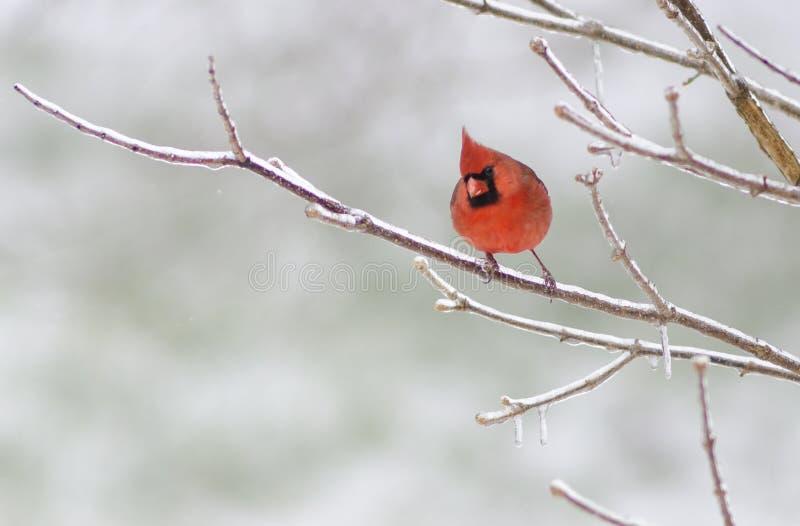 Cardinal mâle photographie stock