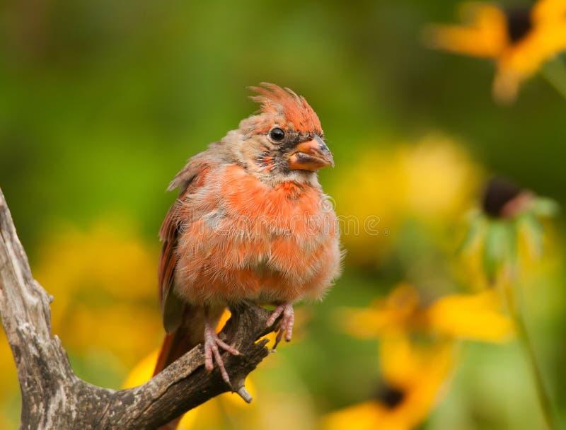Cardinal masculin muant images stock