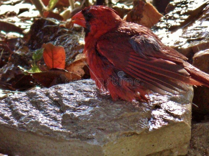 Cardinal masculino, en una roca, despu?s de una ducha foto de archivo