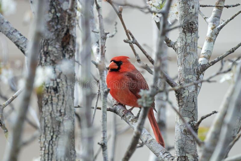Cardinal na primavera imagens de stock royalty free