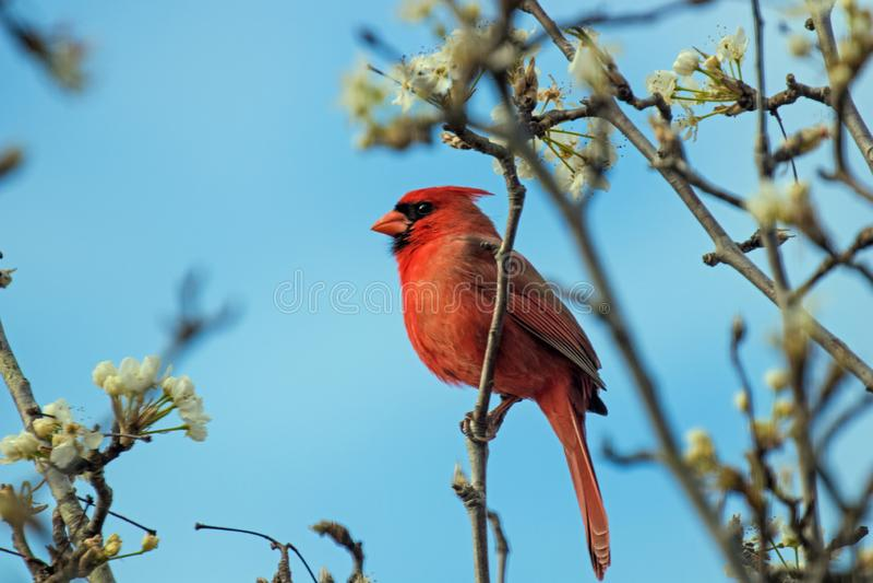 Cardinal na primavera fotografia de stock royalty free
