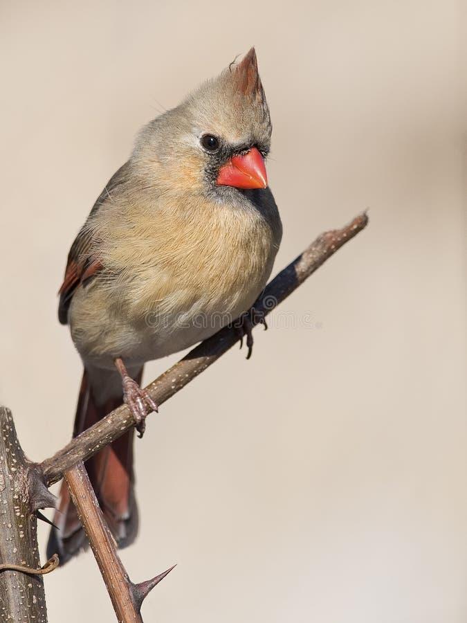 Cardinal nordique images stock