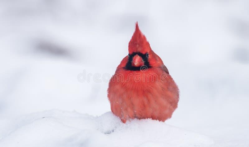 Cardinal nordique en hiver image libre de droits