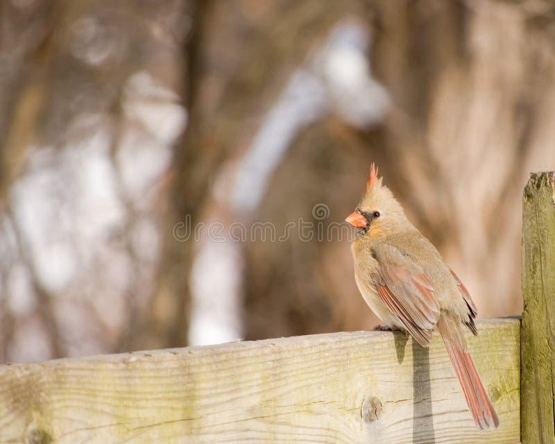 Cardinal nordique féminin images libres de droits