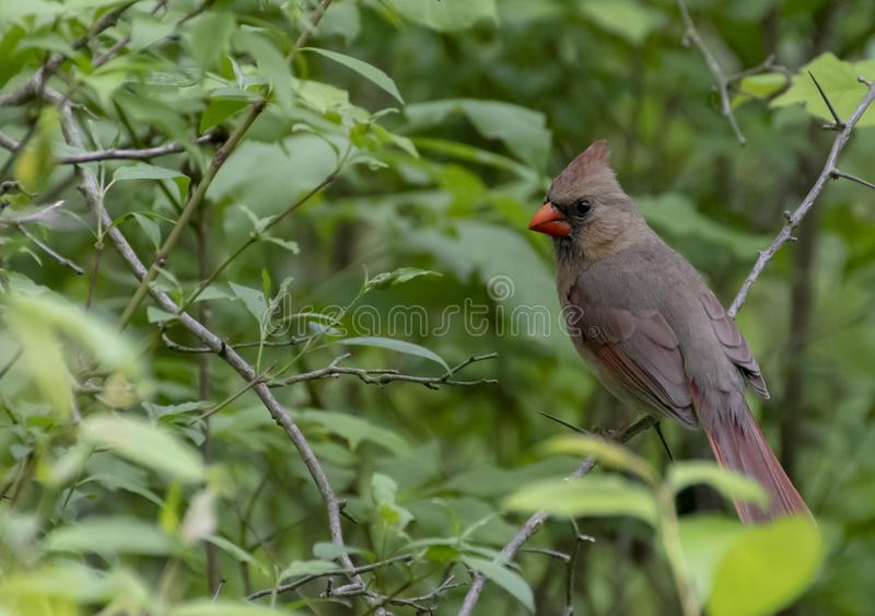 Cardinal nordique f?minin photographie stock