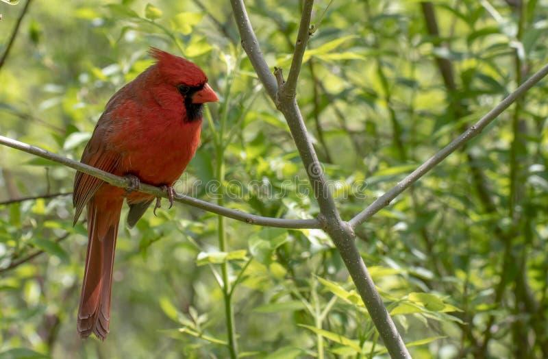 Cardinal nordique m?le image libre de droits