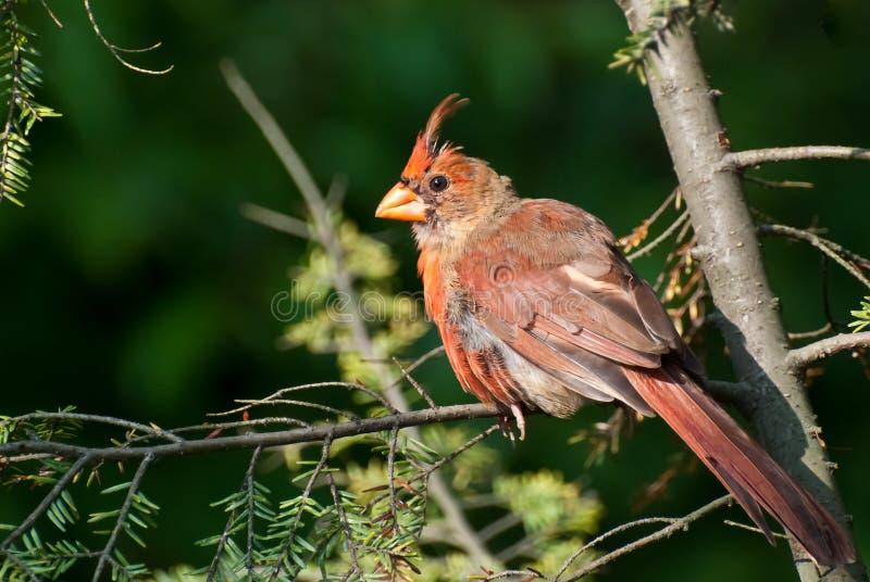 Cardinal nordique muant photographie stock libre de droits