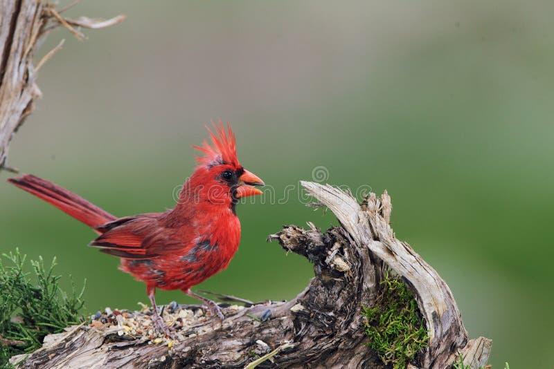 Cardinal. Northern bird royalty free stock photo