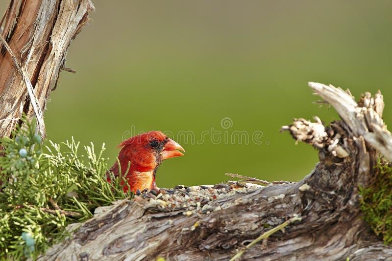 Cardinal. Northern cardinal bird royalty free stock photos