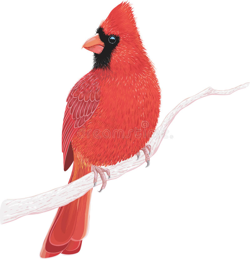 Cardinal. Northern cardinal sitting on a tree branch on white background. Vector illustration stock illustration