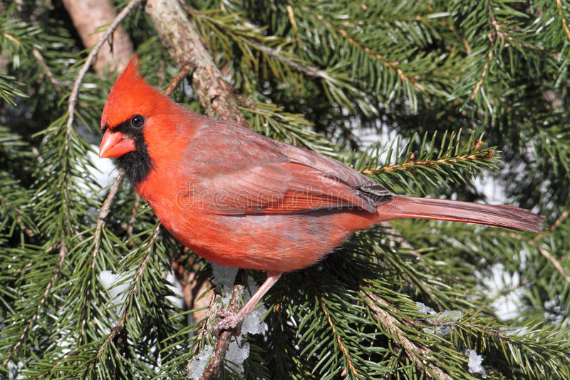 Download Cardinal On A Perch In Snow Stock Photo - Image: 17286526
