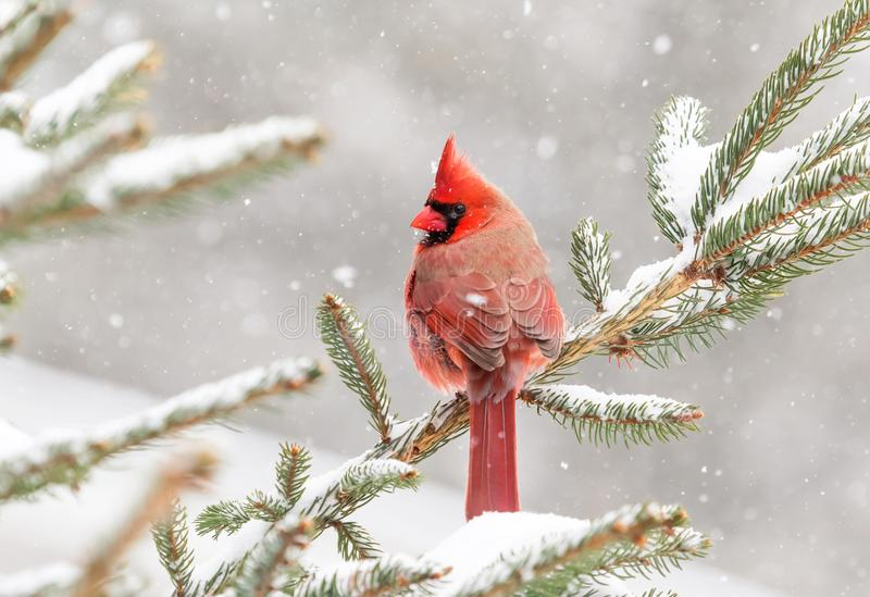 Cardinal perched in a pine tree in winter royalty free stock images
