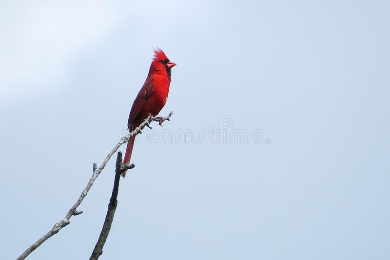 Cardinal pose. A cardinal being a stoic bird on top of a tree branch royalty free stock photography