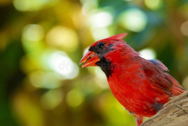 Cardinal. Red bird cardinal royalty free stock image