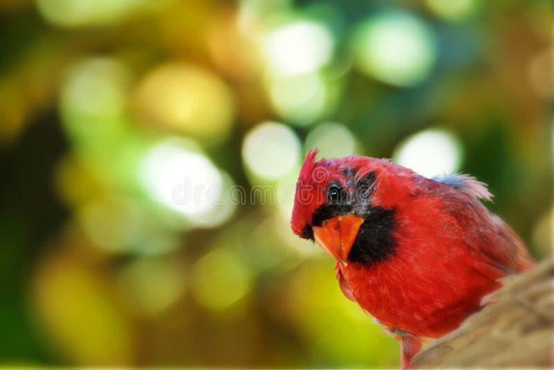 Cardinal. Red bird cardinal royalty free stock images