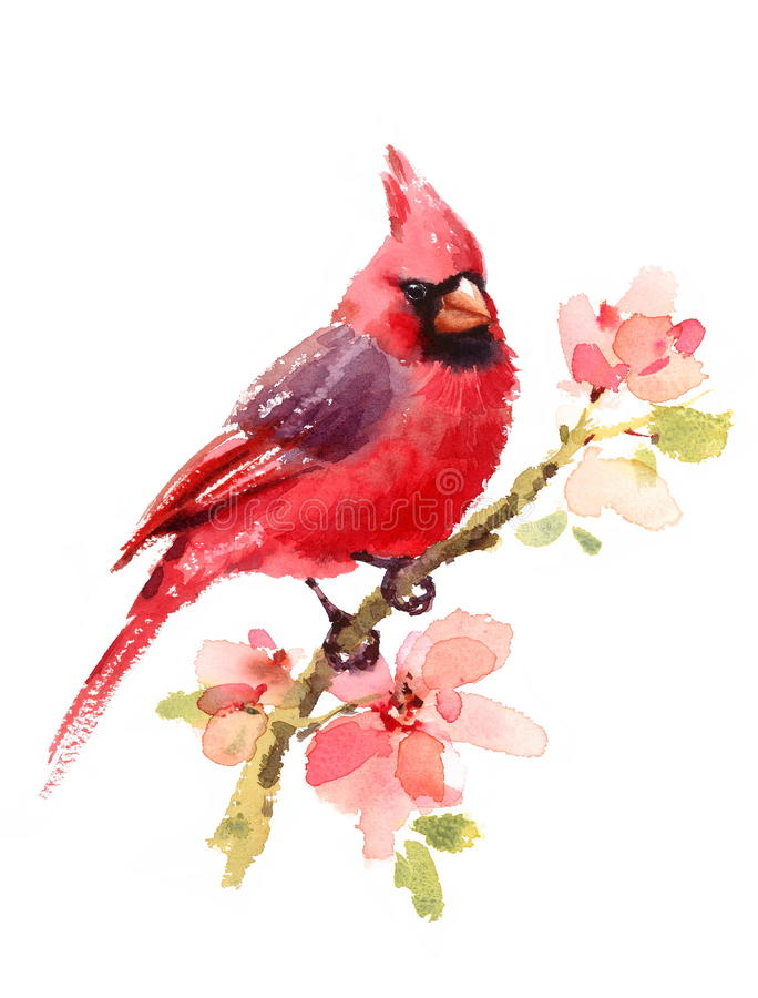 Cardinal Red Bird on branch with Flowers Watercolor Illustration Hand Painted on white background. Watercolor illustration of Northern Cardinal Bird on the vector illustration