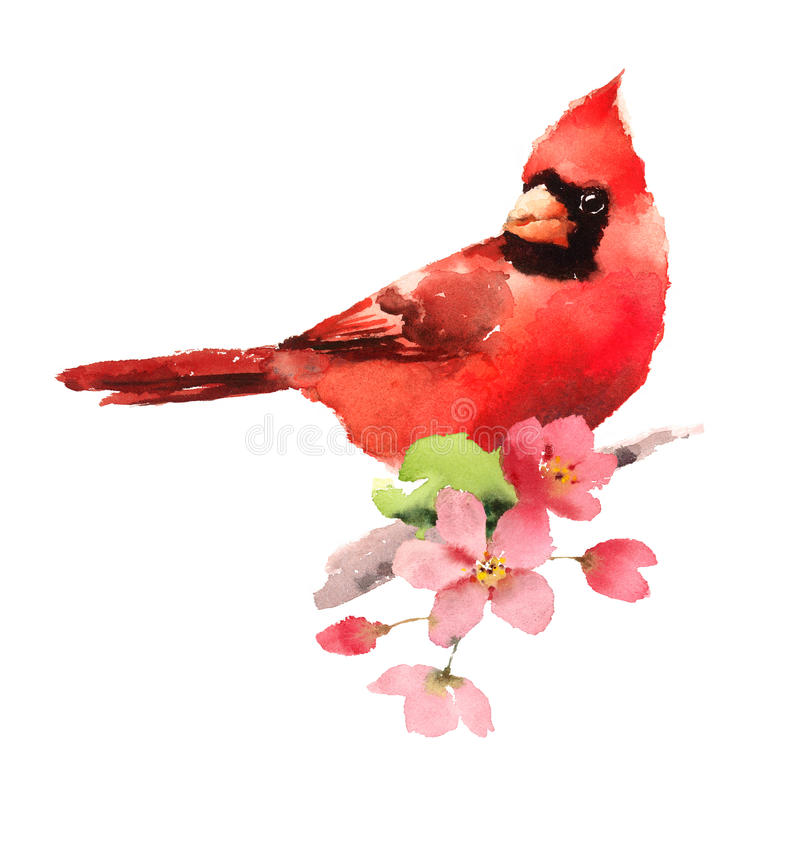 Cardinal Red Bird on the Cherry Blossoms branch Watercolor Illustration Hand Painted isolated on white background. Watercolor illustration of Cardinal Bird on royalty free illustration