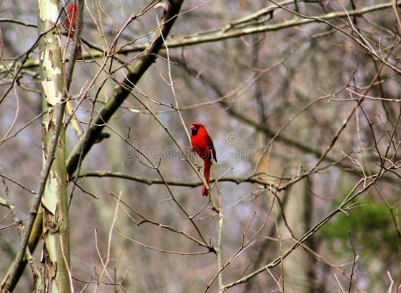 Cardinal relaxing in forest royalty free stock photos
