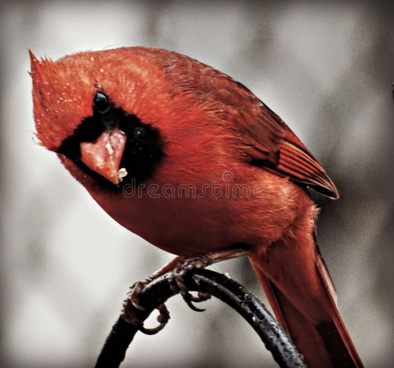 cardinal photographie stock libre de droits