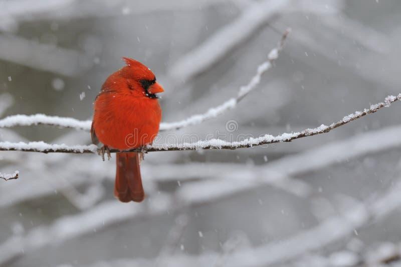Cardinal Snow 1 royalty free stock images