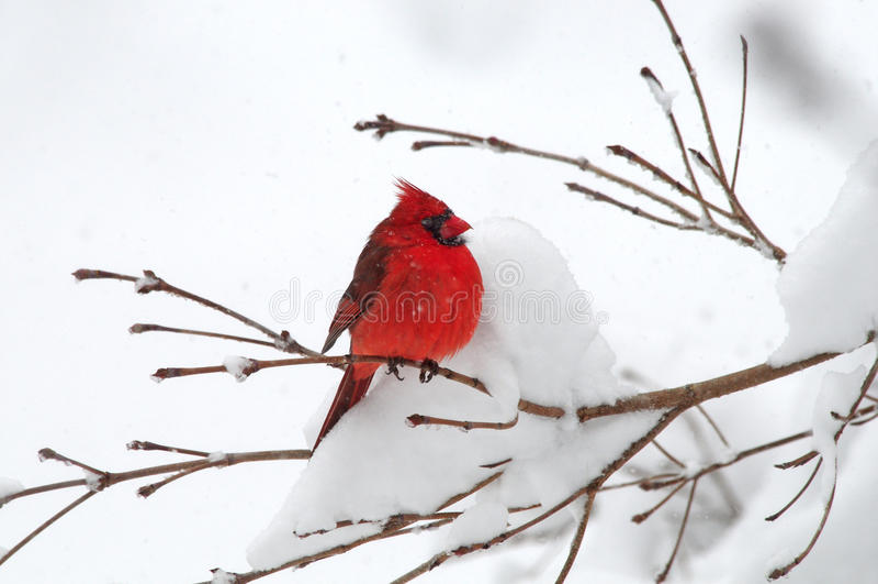 Download Cardinal In Snow stock photo. Image of season, unique - 17370350
