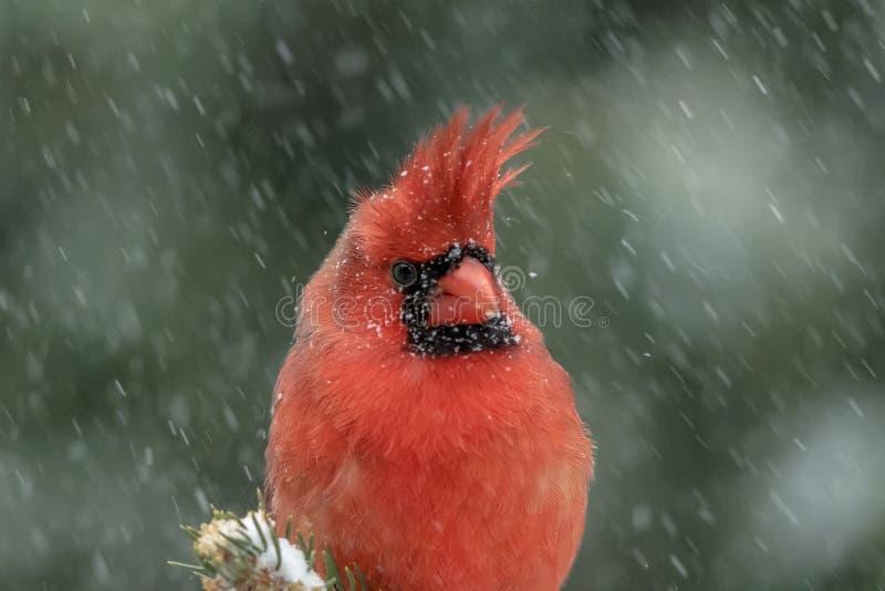 Cardinal in a snow storm stock photos