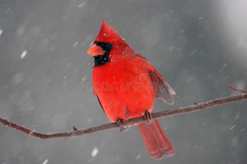 Cardinal in snowstorm. Northern Cardinal in a snowstorm