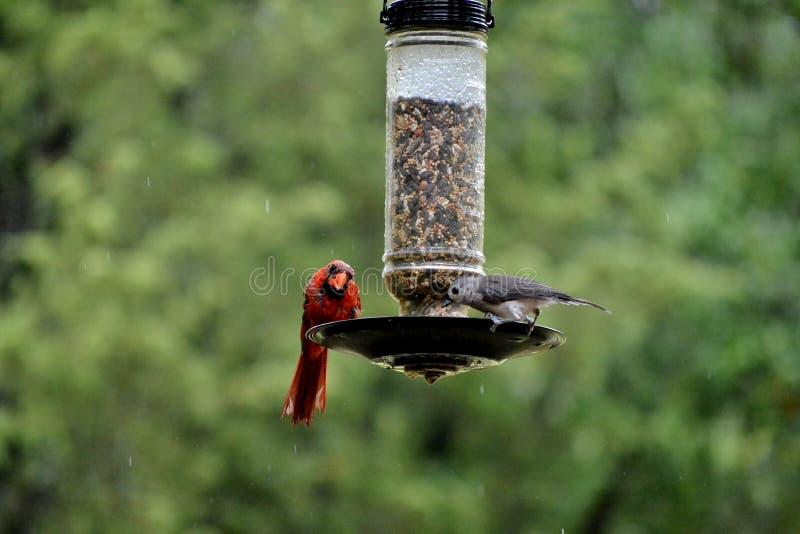 Cardinal sous la pluie images libres de droits