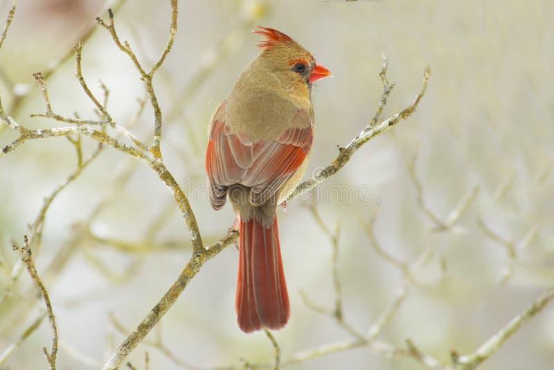 Cardinal sur une perche pendant un jour neigeux photographie stock libre de droits