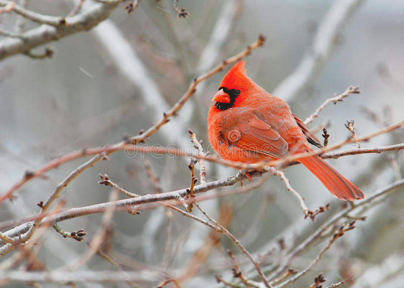 Download Cardinal in Tree stock photo. Image of forest, street - 14907506