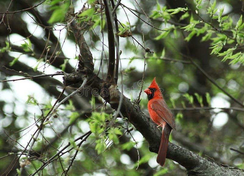 Cardinal royalty free stock images