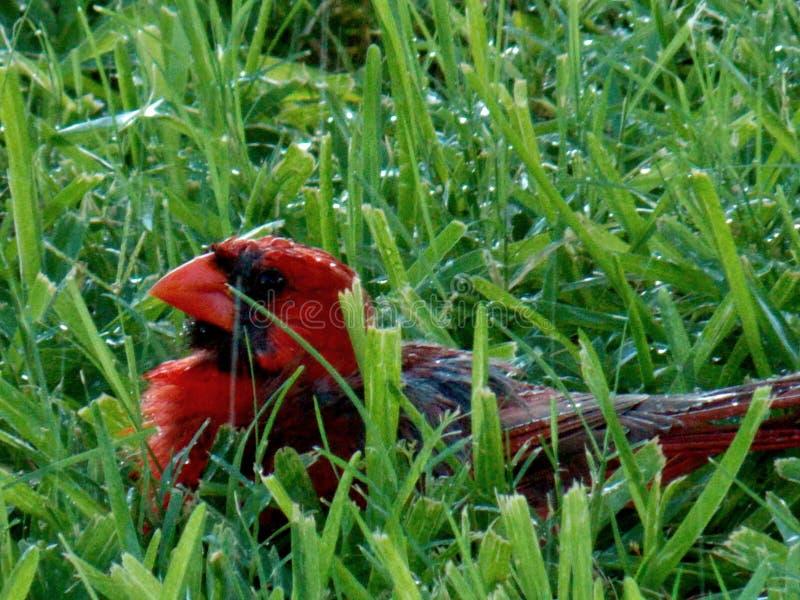 Cardinal, un redbird masculino, descansando en hierba mojada fotos de archivo libres de regalías