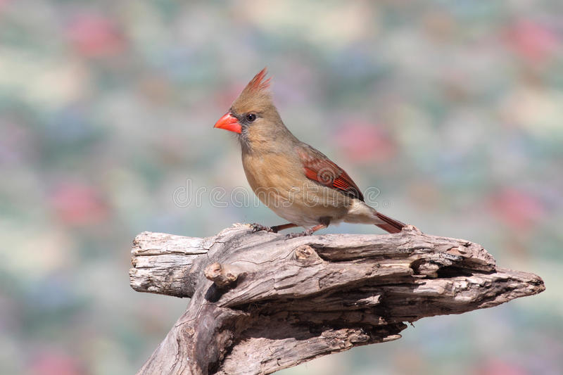 On cardinal une branche photo stock