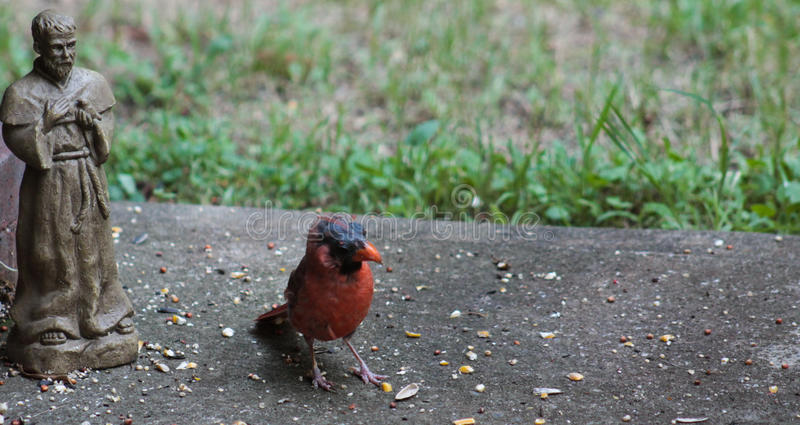 Cardinal-What are you looking at? royalty free stock photo