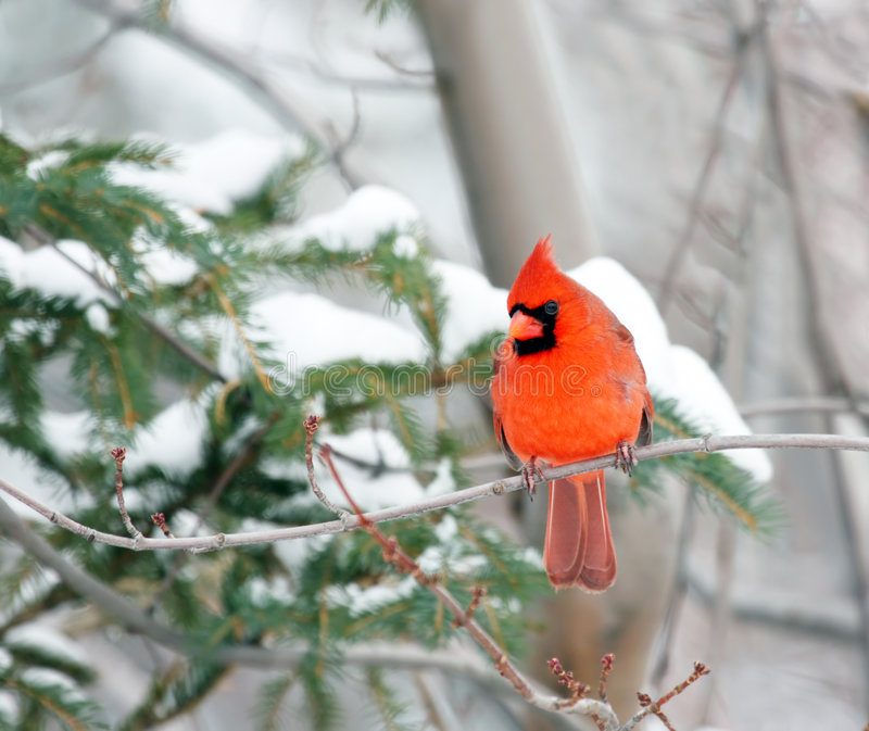 Cardinal in winter. A Northern Red Cardinal bird in winter. Some snow could be seen in a pine tree