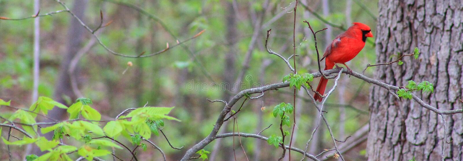 Cardinal in the Woods. Male Cardinal on a tree branch in the woods stock photo