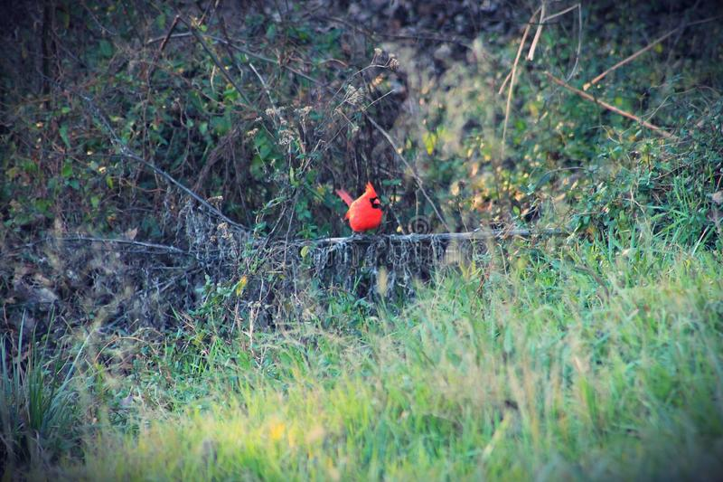 cardinale immagini stock