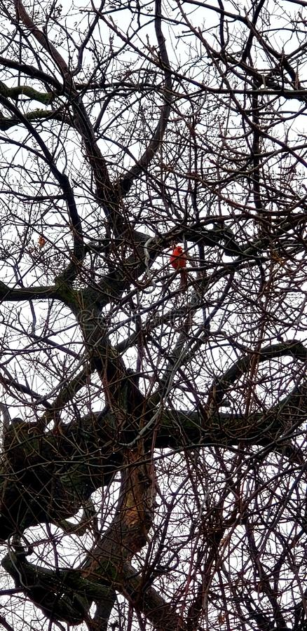 Cardinale in albero Chicago fotografie stock