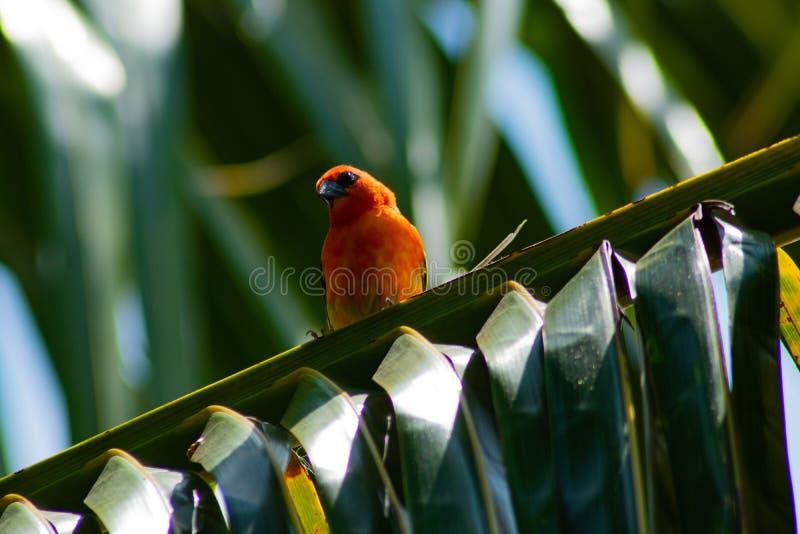 Cardinale confuso che si siede sulla palma verde fotografia stock libera da diritti