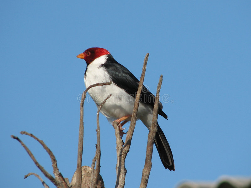 Cardinale di Pantanal fotografia stock