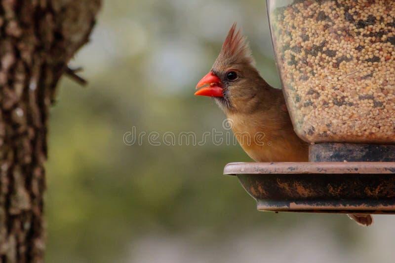 Cardinale femminile Bird sull'alimentatore fotografia stock