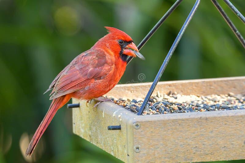 Cardinale maschio rosso Eating Seeds On un alimentatore fotografie stock libere da diritti