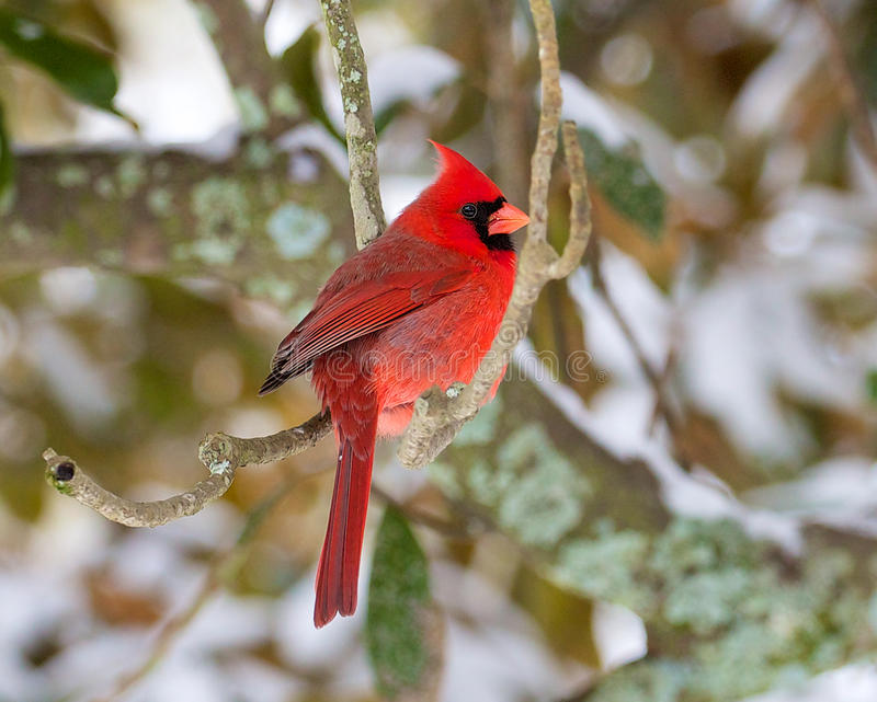 Cardinale nella neve fotografia stock libera da diritti