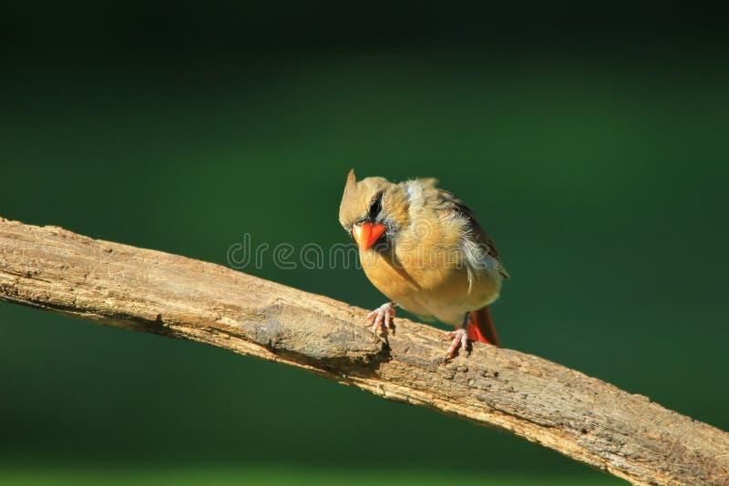 Cardinale nordico - fondo variopinto dell'uccello - esaminare vita fotografia stock